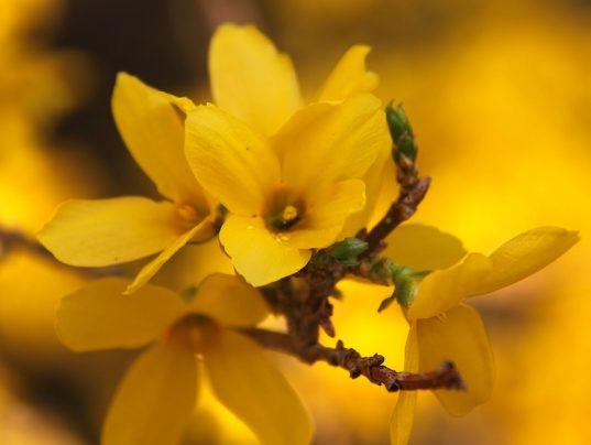 Forsythia flower bloom